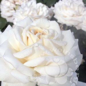 Rosa Ambiente bei Weinsberger Rosen