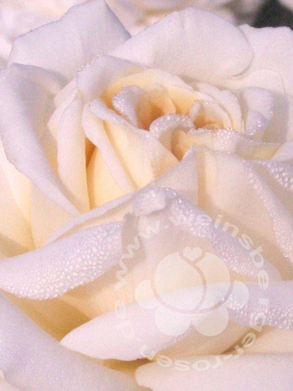 Rosa Ambiente | Weinsberger Rosen