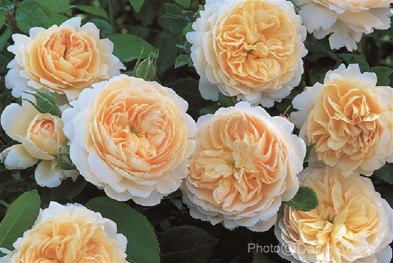 Rosa 'Emanuel' ™ STR VII | Weinsberger Rosen