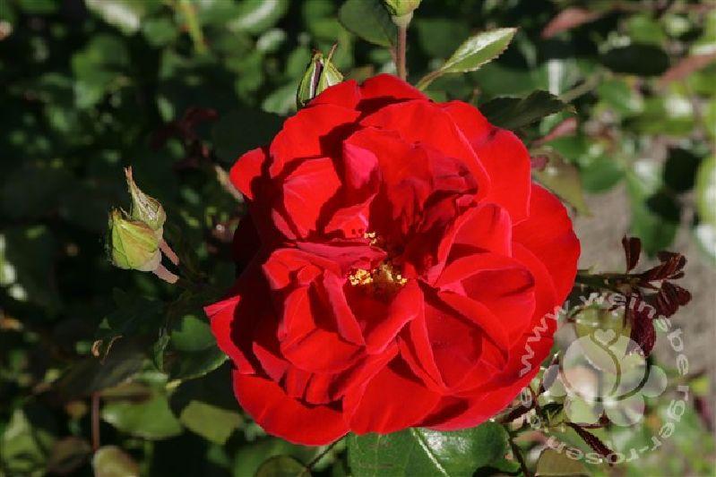 Rosa 'Grandhotel' ® STR III | Weinsberger Rosen