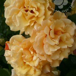 Rose 'Postillion' ® bei Weinsberger Rosenkulturen. Rosen online bestellen