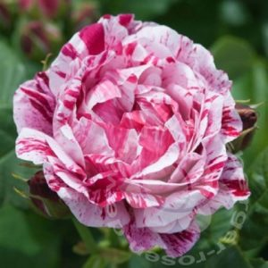 Rose 'Ferdinand Pichard' bei Weinsberger Rosenkulturen. Rosen online bestellen.