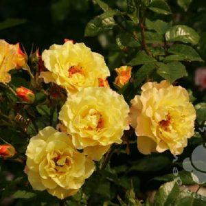 Rose 'Rugelda' ® bei Weinsberger Rosenkulturen. Rosen online bestellen