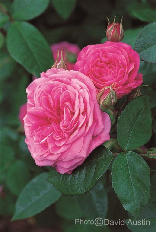 Rose 'Gertrude Jekyll' bei Weinsberger Rosenkulturen. Rosen online bestellen.