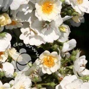 Rose 'Seagull' ® bei Weinsberger Rosenkulturen. Rosen online bestellen