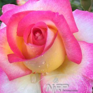 Rose 'Sweet Delight' Nirpsw ® bei Weinsberger Rosenkulturen. Rosen online bestellen
