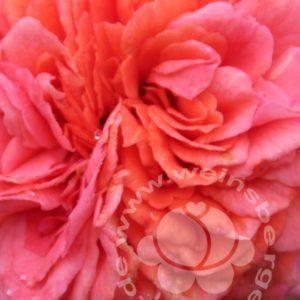 Rose 'Orangerie' ® bei Weinsberger Rosenkulturen. Rosen online bestellen