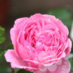Rose 'Kiss me Kate' ® bei Weinsberger Rosenkulturen. Rosen online bestellen