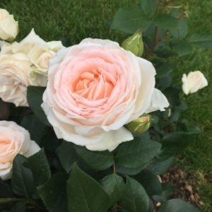 Rose 'Gruaud Larose' ® bei Weinsberger Rosenkulturen. Rosen online bestellen.