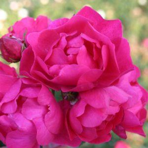 Rose 'Hotline' ® bei Weinsberger Rosenkulturen. Rosen online bestellen.