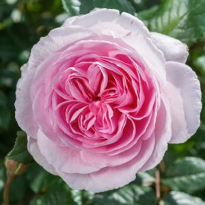 Rose 'The Ancient Mariner' bei Weinsberger Rosenkulturen. Rosen online bestellen