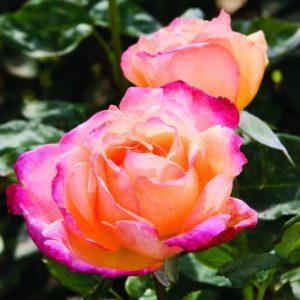 Rose 'Broadway' bei Weinsberger Rosenkulturen. Rosen online bestellen.