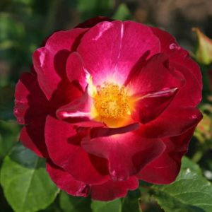 Rose 'Ile de Fleurs'® bei Weinsberger Rosenkulturen. Rosen online bestellen.