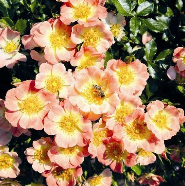 Rose 'Bienenweide® bei Weinsberger Rosenkulturen. Rosen online bestellen.