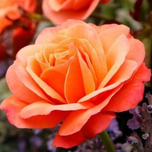 Rose 'Coral Lion's Rose' bei Weinsberger Rosenkulturen. Rosen online bestellen.