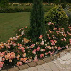 Rose 'Cubana' ® bei Weinsberger Rosenkulturen. Rosen online bestellen.