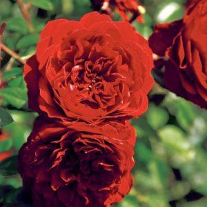 Rose 'Belkanto' ® bei Weinsberger Rosenkulturen. Rosen online bestellen.