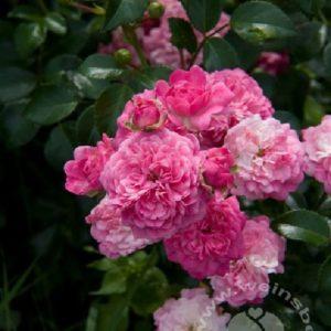 Rose 'Pepita' ® bei Weinsberger Rosenkulturen. Rosen online bestellen