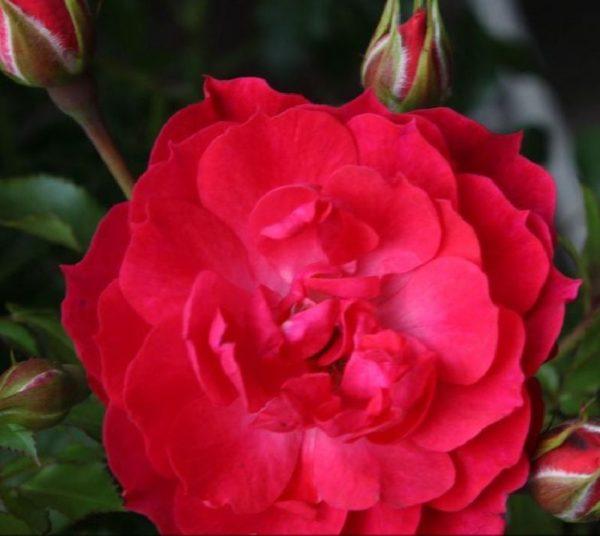 Rosa 'Limesglut' ® bei Weinsberger Rosenkulturen. Rosen online bestellen