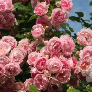 Rose 'Jasmina' ® bei Weinsberger Rosenkulturen. Rosen online bestellen