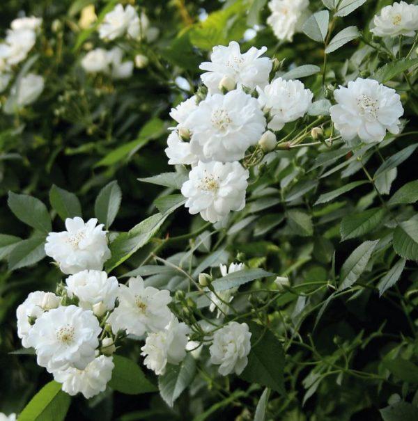 Rosa 'Guirlande d'Amour' bei Weinsberger Rosenkulturen. Rosen online bestellen.