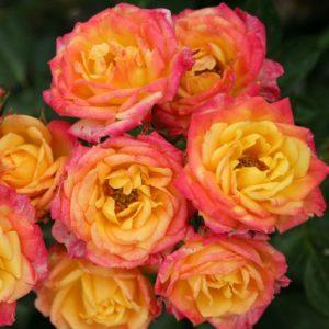 'Little Sunset' ® bei Weinsberger Rosenkulturen. Rosen online bestellen