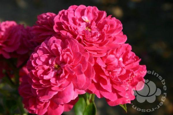 Rose 'Roxy' ® bei Weinsberger Rosenkulturen. Rosen online bestellen