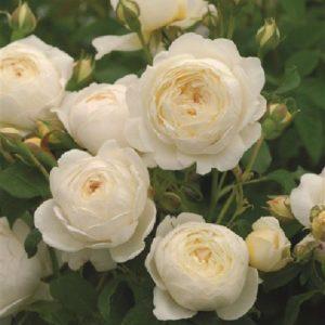 Rose 'Claire Austin' bei Weinsberger Rosenkulturen. Rosen online bestellen.