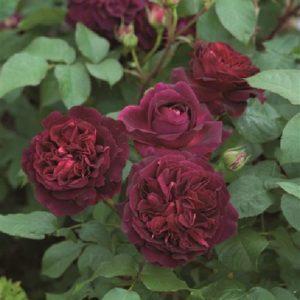 Rose 'Munstead Wood' bei Weinsberger Rosenkulturen. Rosen online bestellen