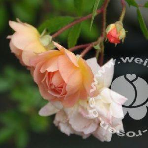 Rose 'Ghislaine de Feligonde' bei Weinsberger Rosenkulturen. Rosen online bestellen.