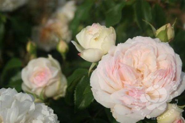 Rose 'Stephanie Baronin zu Guttenbg.' ® bei Weinsberger Rosenkulturen. Rosen online bestellen