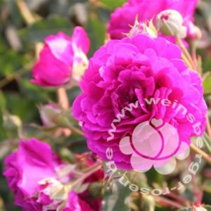 Rose 'Rosengarten Zweibrücken' ® bei Weinsberger Rosenkulturen. Rosen online bestellen
