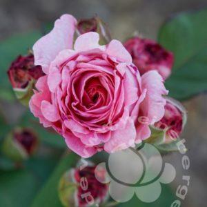 Rose 'Rosengräfin Marie Henriette' ® bei Weinsberger Rosenkulturen. Rosen online bestellen