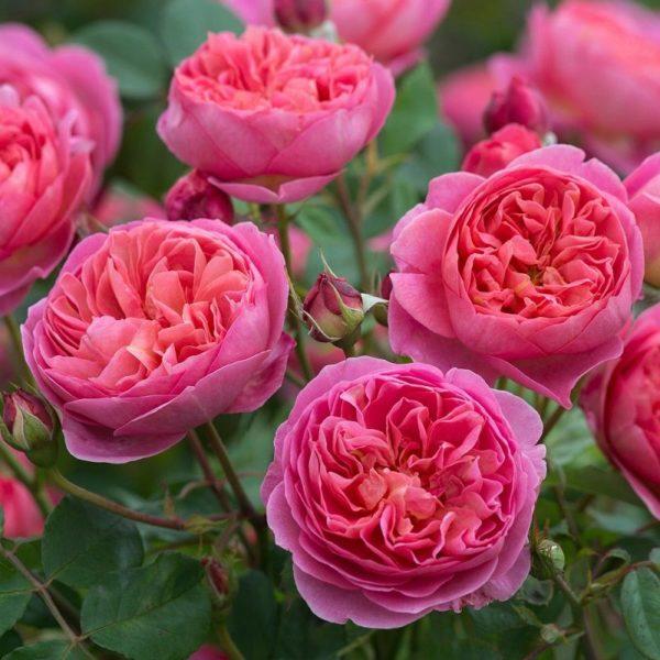Rose 'Boscobel' bei Weinsberger Rosenkulturen. Rosen online bestellen.