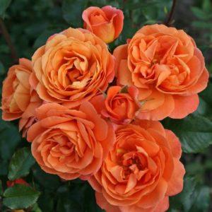 Rose 'Phoenix' ® bei Weinsberger Rosenkulturen. Rosen online bestellen