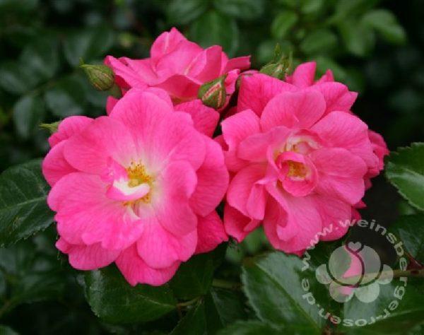 Rose 'Palmengarten Frankfurt' ® bei Weinsberger Rosenkulturen. Rosen online bestellen