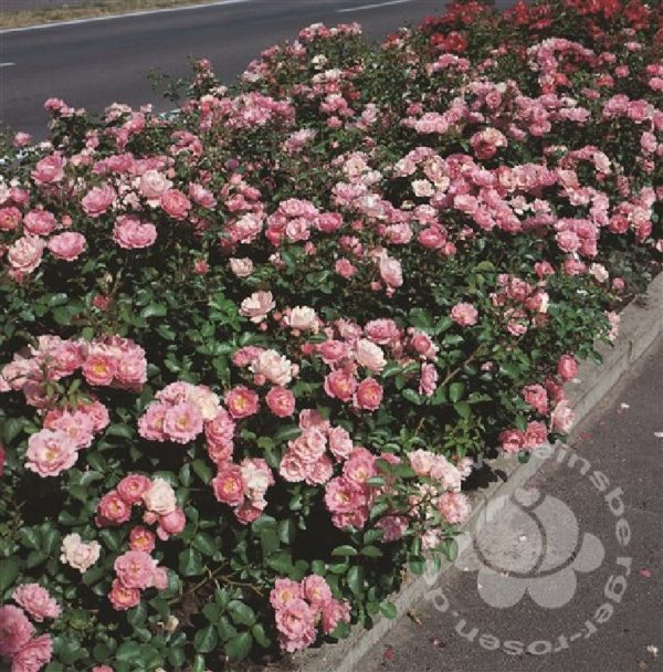 Rosa 'Sommerwind' ® bei Weinsberger Rosenkulturen. Rosen online bestellen