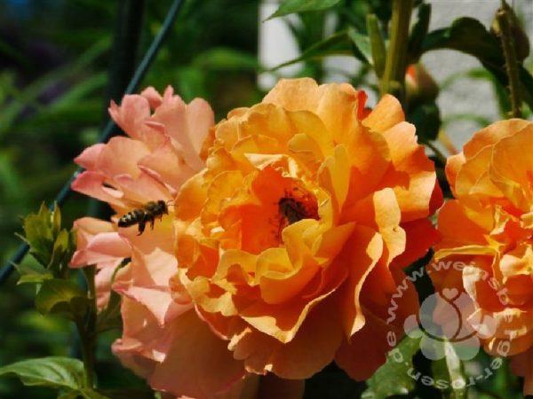 Rose 'Westerland' ® bei Weinsberger Rosenkulturen. Rosen online bestellen