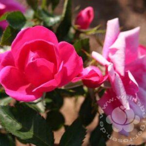 Rosa 'Gartenfreund' ® bei Weinsberger Rosenkulturen. Rosen online bestellen