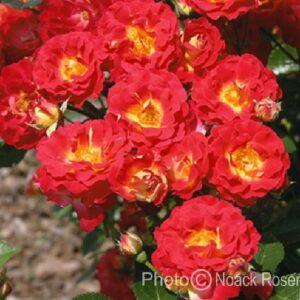 Rose 'Getano' ® bei Weinsberger Rosenkulturen. Rosen online bestellen