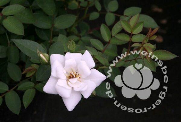 Rosa 'Kent' ® bei Weinsberger Rosenkulturen. Rosen online bestellen