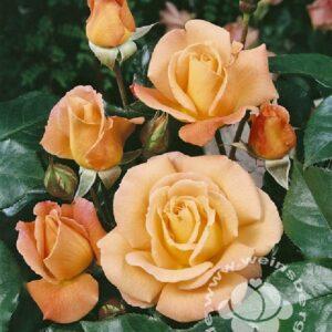 Rose 'Rosemary Harkness' ® bei Weinsberger Rosenkulturen. Rosen online bestellen