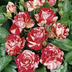 Rose 'Papageno'® bei Weinsberger Rosenkulturen. Rosen online bestellen.