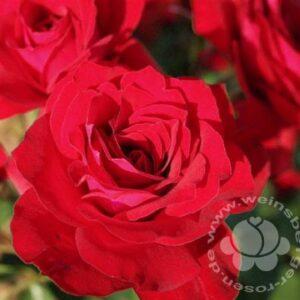 Rose 'Roter Drache' ® bei Weinsberger Rosenkulturen. Rosen online bestellen