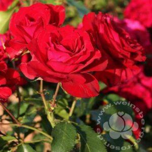 Rose 'Roter Drache' ®bei Weinsberger Rosenkulturen. Rosen online bestellen