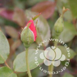 Rose 'Sutter's Gold' bei Weinsberger Rosenkulturen. Rosen online bestellen