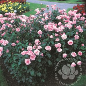 Rose 'The Queen Elizabeth Rose' ® bei Weinsberger Rosenkulturen. Rosen online bestellen