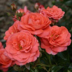 Rose 'Evelin'® bei Weinsberger Rosenkulturen online bestellen