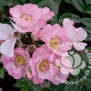 Rose Open Arms Kletterrose Blüten von Weinsberger Rosen
