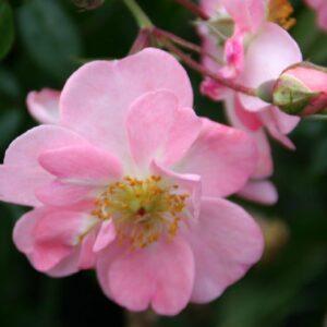 Blüte der Rose Open Arms Kletterrose bei Weinsberger Rosen
